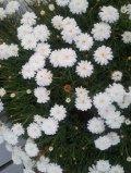 Sep flower7